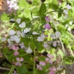 radish-flowers