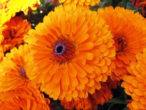 Annual Marigolds