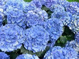 Perennial Hydrangeas